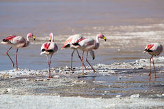 Group of flamingos standing on the lagoon, Bolivia Stock Images