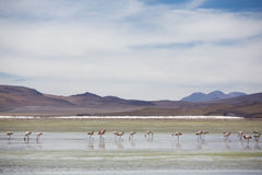 Group of flamingos standing on the lagoon, Bolivia Royalty Free Stock Photos