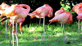 Group of flamingos stock video footage