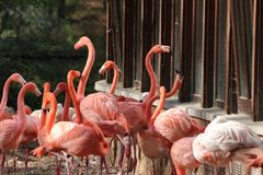 Group of flamingos standing in zoo in germany in nuremberg stock photos