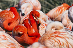 Group of flamingos Stock Photography