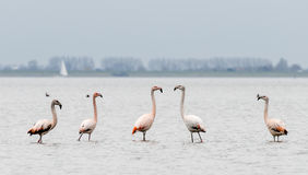 Group of flamingos in th wild Stock Image