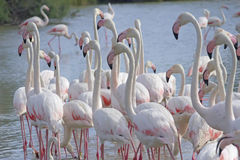 The group of flamingos walking in the lake. Royalty Free Stock Photography
