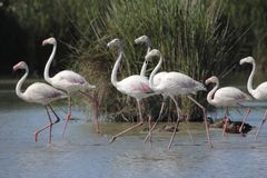 Group Flamingos walking in the water in a lake Royalty Free Stock Photo