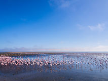 Group of flamingos on Walvis Bay Lagoon Royalty Free Stock Images