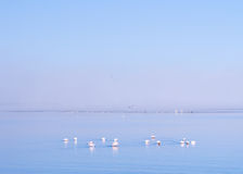 Group of flamingos on Walvis Bay Lagoon Stock Photography