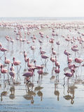 Group of flamingos on Walvis Bay Lagoon Stock Photos