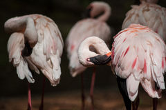 Group of flamingos at the water Royalty Free Stock Image