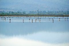 Flamingos in the Lake Tuzla Milas-Turkey royalty free stock photo