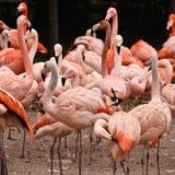 Group of flamingos Royalty Free Stock Image