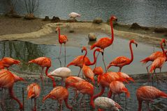 Group of flamingos at the zoo royalty free stock image