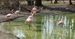 Group of flamingos at the zoo at the lake. Group of flamingos in the zoo in spring on the lake stock images