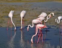 Group of Flamingoswith S shape necks and feathers which flutters on wind Stock Photography