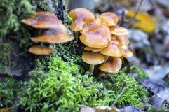 Flammulina velutipes mushroom on wooden shrub in green moss, cluster of tasty winter mushrooms. Group of Flammulina velutipes mushroom on wooden shrub in green stock photos