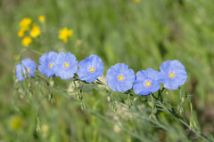 Group flax flowers. On meadow Royalty Free Stock Photo