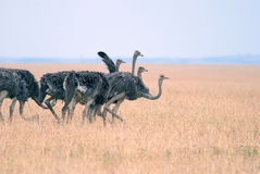 Group, a flock of ostriches grazing in the African savanna Stock Images
