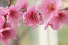 Group  of flower nectarines Stock Photography