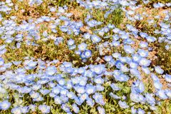 Group flower of purple and white Nemophila spring flower in hitachi seaside park royalty free stock image