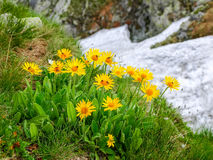 Group flowers of the Arnica montana in the Tatra Mountains. Group flowers of the Arnica montana on a blurry background of rocks and snowfield in the Tatra Royalty Free Stock Image