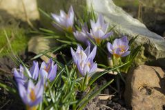 A group of flowers of crocuses among stones. Spring primroses on a sunny afternoon Royalty Free Stock Photos