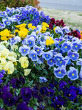 Group of Flowers. Group of planted blue, yellow and purple pansies Stock Image