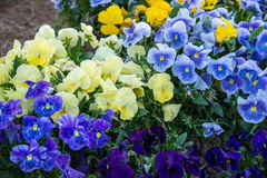 Group of Flowers. Group of planted blue, yellow and purple pansies Royalty Free Stock Photos