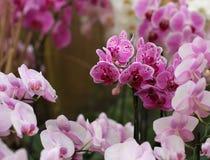 Group of flowers, purple orchid, phalaenopsis Stock Photos