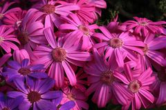 A bunch of bright pink beautiful flowers stock photography