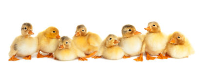Group of fluffy ducklings. Isolated Royalty Free Stock Photos