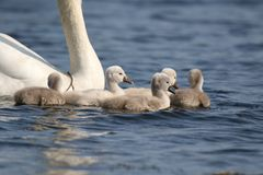 Group of Swimming Cygnets. A group of fluffy mute swan Cygnus olor cygnets swimming on a blue lake stock photos