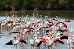 Group of fluttering flamingos in the french Camargue stock photography