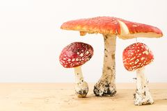 Group of fly agaric mushrooms on white background Royalty Free Stock Photo