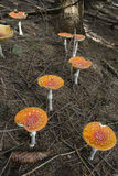 Group of fly agarics Royalty Free Stock Image