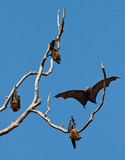 Group of flying foxes Stock Image