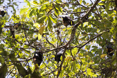 Group of flying foxes Royalty Free Stock Photography