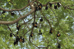 Group of flying foxes in Thailand Royalty Free Stock Image