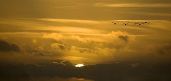 Group of Flying Swans. In front of a beautiful sunset, flying towards you. Landscape crop royalty free stock photography