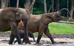 Group of forest elephants in the forest edge. Royalty Free Stock Images