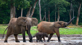 Group of forest elephants in the forest edge. Royalty Free Stock Image