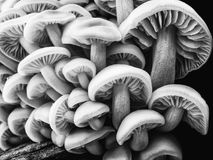 Group of forest mushrooms. Black and white image Stock Photo