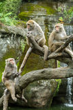 Group of Formosan Macaque monkeys sitting Stock Images