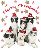 Group of four border collies and one westie dog with santa hat Royalty Free Stock Photo