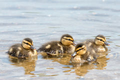 Group of four Chicklets of  Wild Ducks (Mallard). Family of Wild Ducks (Mallard) seen in Spring 2016 at a lake (Hoehenfelder See) near Cologne, Germany Royalty Free Stock Images