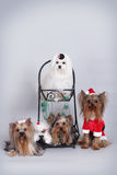 Group of four dogs of Yorkie and Maltese. Sitting in Christmas decorations Stock Photos