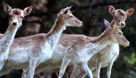 Group of four Fallow Deer Stock Image