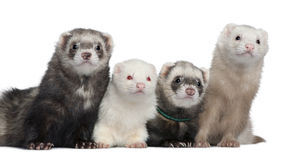 Group of four ferrets Stock Images