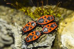 Group of four firebug closeup macro stand nearby form a tile ornament