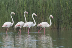 Group of four flamingos in a lake Stock Photos