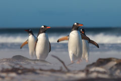 Group of four Gentoo Penguins (Pygoscelis papua) on the beach. Royalty Free Stock Photography