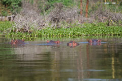 Group of four hippos. Lurking at the surface of Lake Naivasha Royalty Free Stock Photography